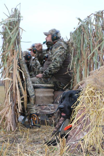 Bird Hunting with black lab