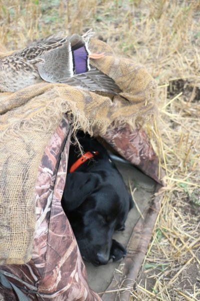 black lab hunting dog