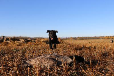 Black Labrador Retrieving