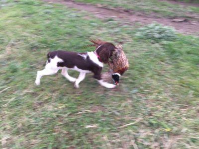 big sky bird dogs pheasant retrieving