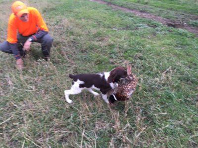 pheasant retrieval